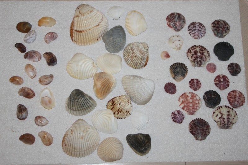 Types of shells in florida submited images - Types of seashells for kids ...
