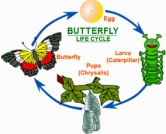Lifecycle – Caterpillar to Butterfly