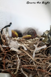 Wordless (almost) Wednesday ~ House Finches