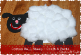Cotton Ball Sheep ~ Craft & Facts