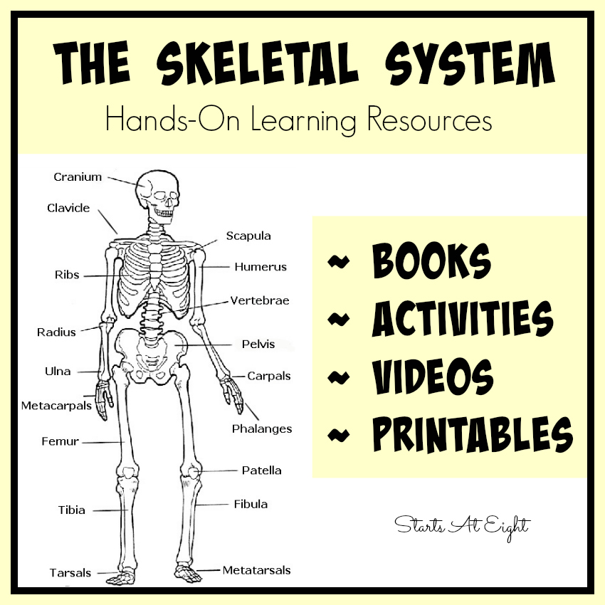 photograph relating to Printable Skeletal System identified as The Skeletal Process: Arms-Upon Discovering Materials - StartsAtEight