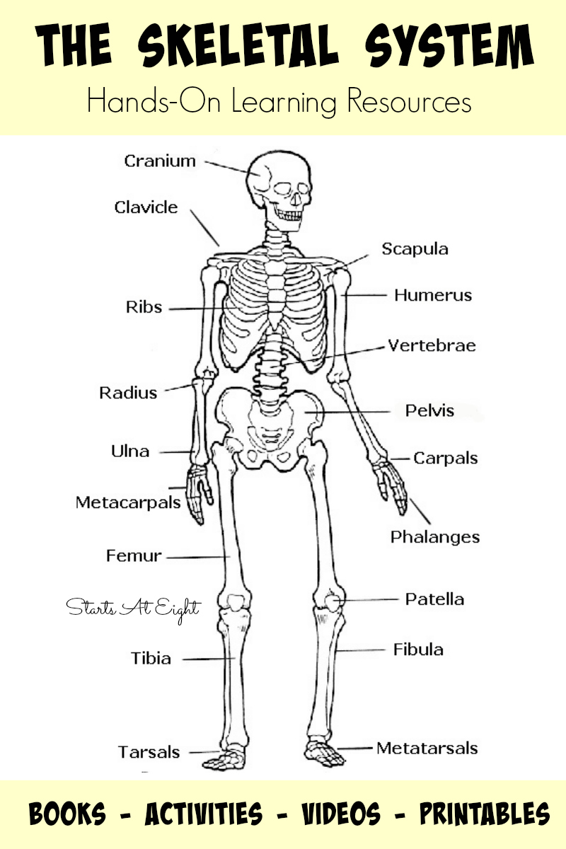 Worksheets The Skeletal System Worksheet the skeletal system hands on learning resources startsateight from starts at eight this is