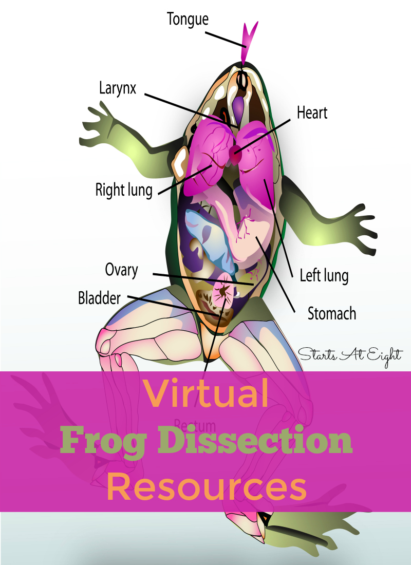Frog Dissection Worksheet Answers | Homeschooldressage.com